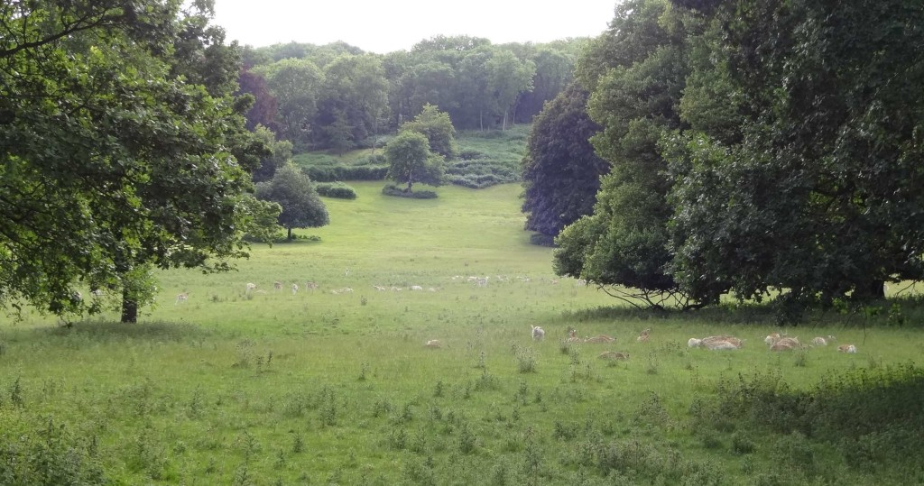 The Ashton Court estate meadow full of deer (but not sheep)