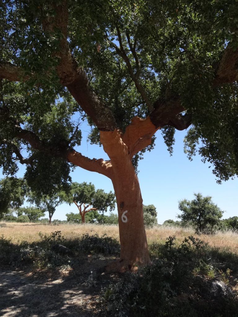 Once a cork tree has been harvested, the last digit of the year is painted on to the bark so that the cork harvesters know when it was last harvested. This tree will now be left for NINE years before it can be harvested for cork again. What a lovely excuse to return to Évora in 2025