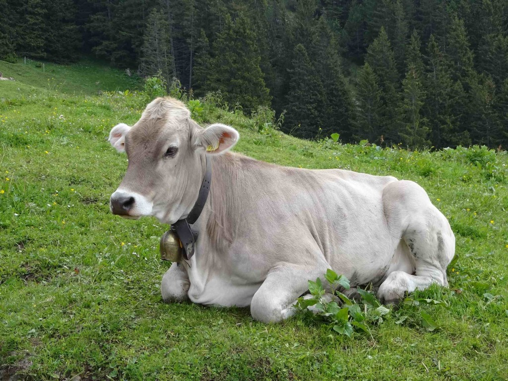 A belle cow with a cow bell (yes, Liechtenstein is a Swiss-German speaking country rather than Swiss-French speaking one, but 'schöne kuh' doesn't quite have the same ring to it)